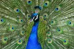 Mr Peacock by scoot75