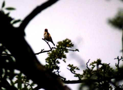 Goldfinch by iakwbos
