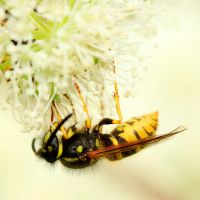 hanging wasp by indojo
