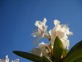 Rhododendron by Yashafreak2709