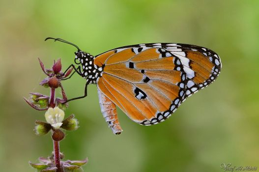 Plain Tiger Butterfly by AlHabshi
