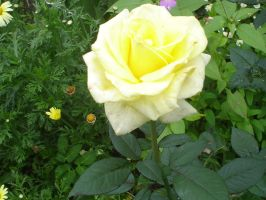 Yellow_Rose_stock by drowned-in-air-stock
