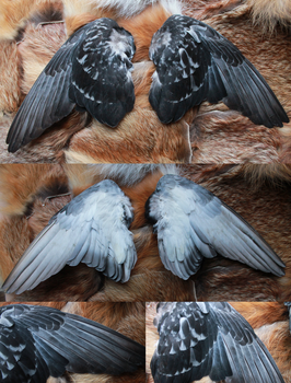 Feral Pigeon Wings by CheeTaxi