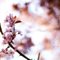Blossom by Rameez-K
