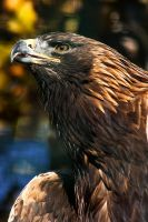 Golden Eagle by darkSoul4Life