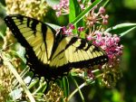 Eastern Tiger Swallowtail by AppleBlossomGirl