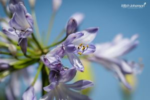 The Purple Against the Blue by mjohanson