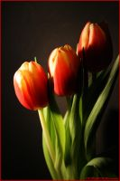 Tulips by nInfluence