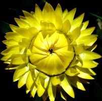 A yellow flower for Christina by Dieffi