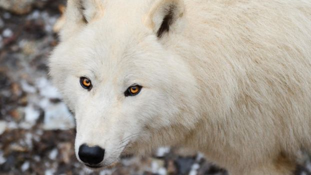 Wallpapers 1920x1080 arctic wolf 3 by wolfkART