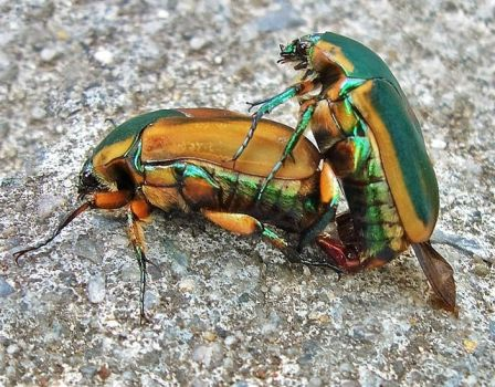 Green June Beetle (Cotinis nitida)    by WanderingMogwai