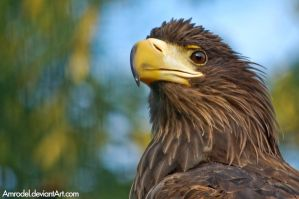 Sea Eagle by amrodel