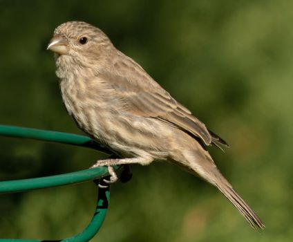 Female House Finch by kevoka