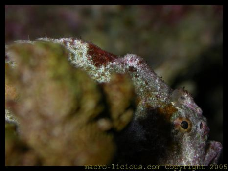Painted Frogfish by shanebeall