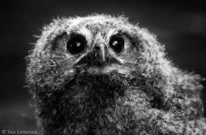 young owl by Yair-Leibovich