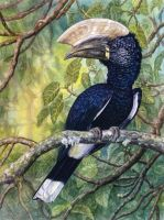 Silvery-cheeked Hornbill by WillemSvdMerwe