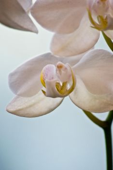 The White Orchids V by Linduzki