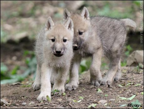 Adorable baby wolves by woxys