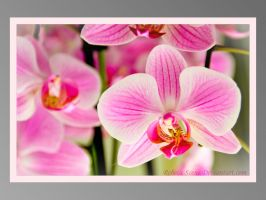 Orchid by rcovelo