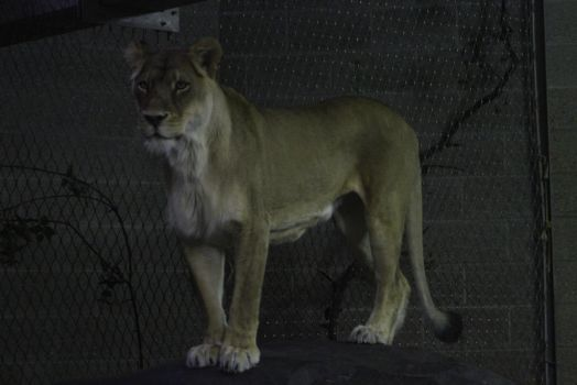 African Lion 15 by CastleGraphics