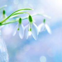 snowdrops... by impatienss