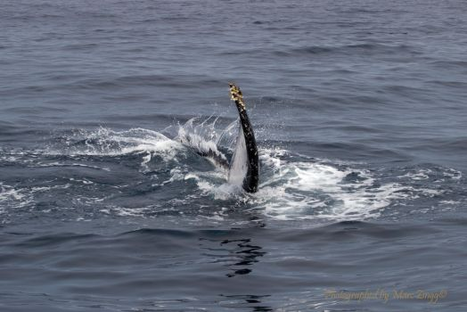 Humpback Whale 3 by MarcZingg