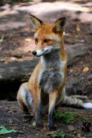 Fox is waiting for a friend? by Allerlei