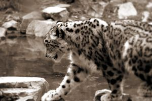 Leopard by madeinyorkshire