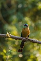 Blue-crowned Motmot by CBasco