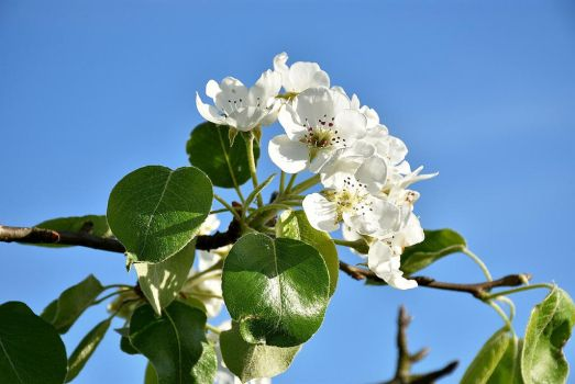 Pear blossoms Nr 2 by OfTheDunes
