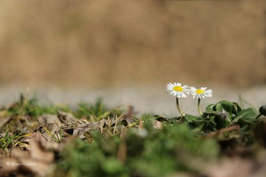 Two Daisies by mck182