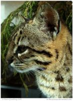 Geoffroys Cat by In-the-picture