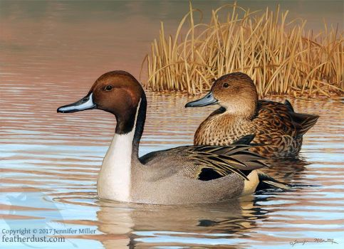 Northern Pintails by Nambroth