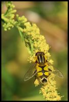 Another Hoverfly by Pildik