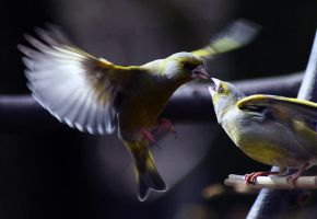 Greenfinches by LastAutumnShade