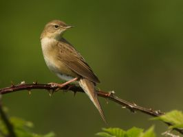 'The Poser' Grasshopper Warbler by Jamie-MacArthur
