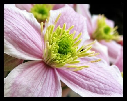 F.S. 17: Clematis n.1 by giuliame