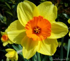 Welcome Spring! - Daffodil's Trumpet (Narcissus) by Cloudwhisperer67