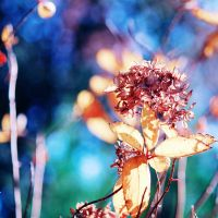 Hydrangea Leaves by incolor16