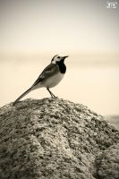 Pied wagtail by geeson