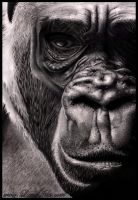 With man gone, is there hope for Gorilla? by Lianne-Issa