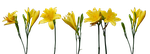 Yellow Lilies by Eirian-stock