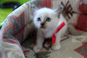 Sacred Birman kitty by Queen-of-darknesss