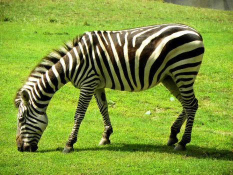 Zebra by ClarifiedChaos77