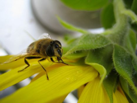 Bee on sunflower #2 by redrockstock