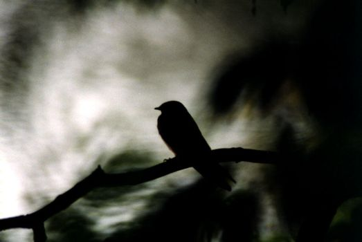 Silhouette Swallow by iakwbos