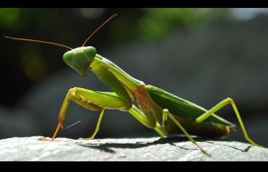 Praying Mantis 2 by Pixellurgist