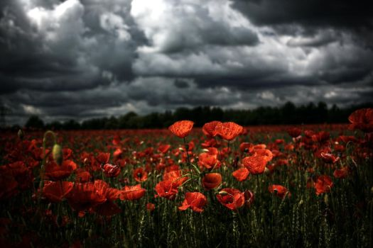 Field of poppies HDR by DasHorst