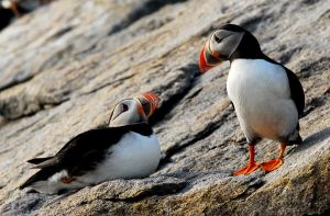 Look of Love - Puffins by Shadow-and-Flame-86