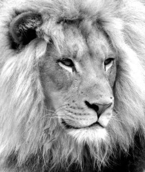 Lion (black and white) by LHufford
